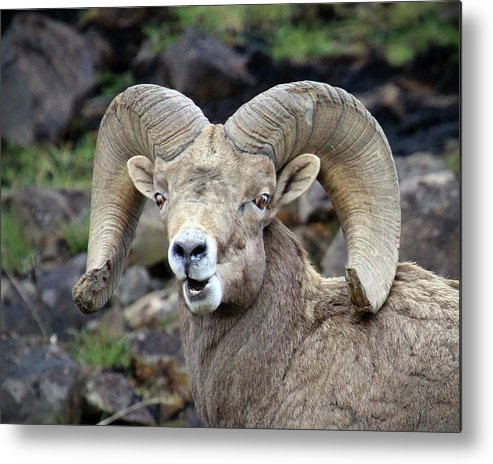 Bighorn Sheep Metal Print featuring the photograph Bighorn Giant by Steve McKinzie