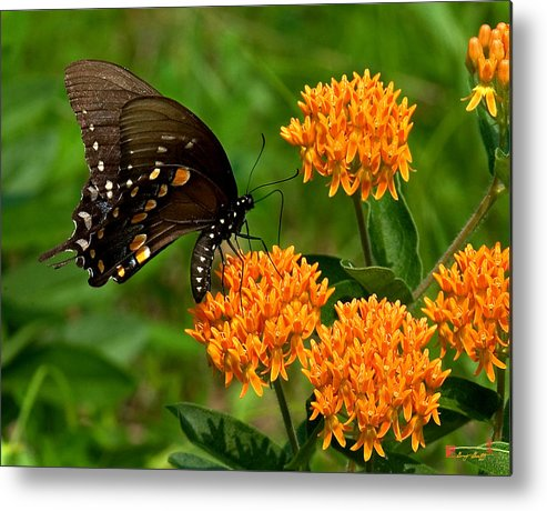 Insect Metal Print featuring the photograph Black Swallowtail Visiting Butterfly Weed Din012 by Gerry Gantt