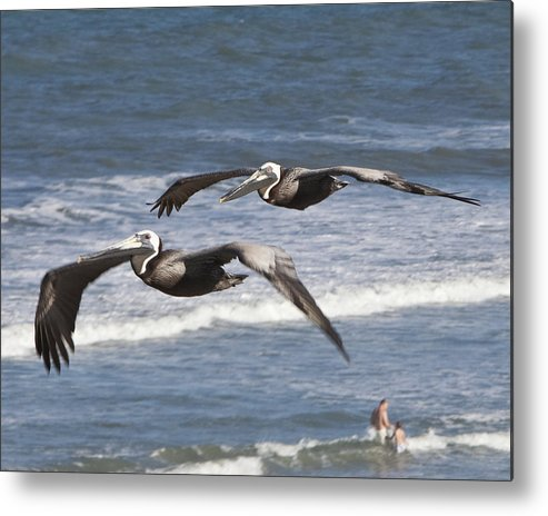 Brown Pelican Metal Print featuring the photograph Brown Pelican by John Zawacki