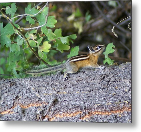Chipmunks Metal Print featuring the photograph Chipmunk On A Log by Ben Upham III