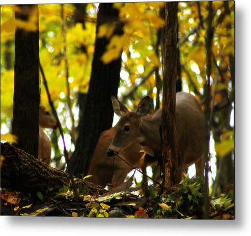 Hovind Metal Print featuring the photograph Curious Doe by Scott Hovind