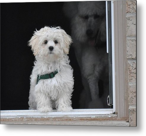 Dog Framed Prints Metal Print featuring the photograph Doggie In The Window by Lisa DiFruscio