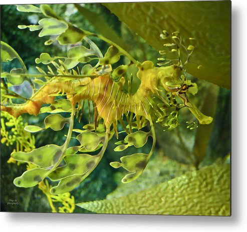 Seahorse Metal Print featuring the photograph Dragon Seahorse by Diego Re