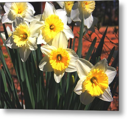 Buttercups Metal Print featuring the photograph February Daffodils by Sonya R Jones