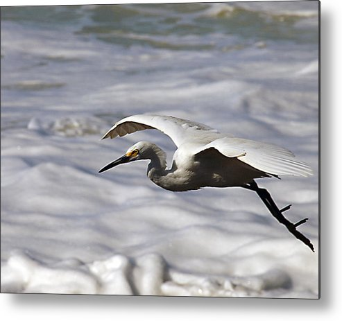 Egret Metal Print featuring the photograph Gliding Snowy Egret by Joe Schofield