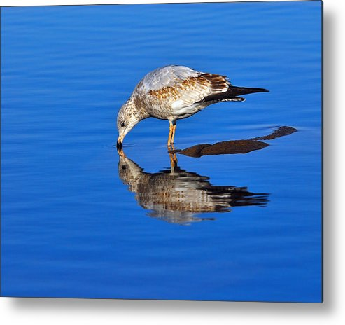 Ring-billed Gull Metal Print featuring the photograph Juvenile Ring-billed Gull by Tony Beck