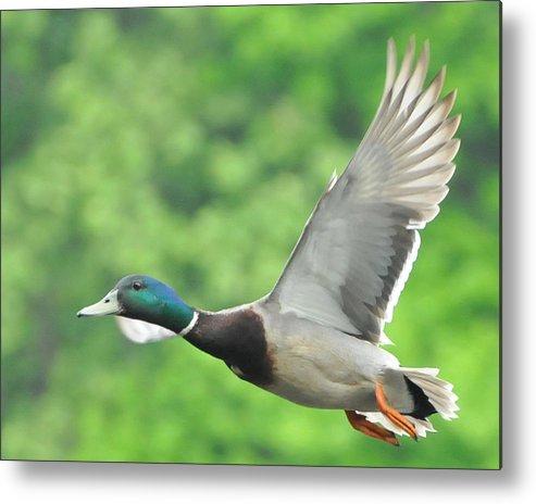 Mallard Metal Print featuring the photograph Mallard Duck In Flight by Paul Ward