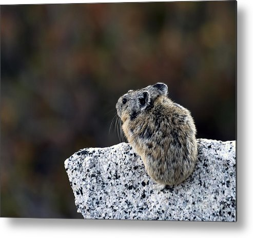 Yosemite National Park Metal Print featuring the photograph Pika Surveying His Domain by Rodney Cammauf