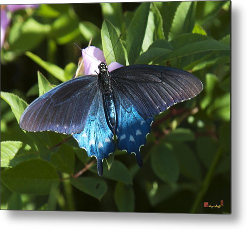 Nature Metal Print featuring the photograph Pipevine Swallowtail Din003 by Gerry Gantt