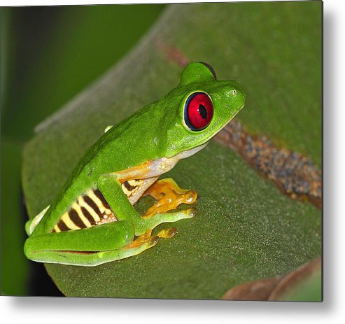 Costa Rica Metal Print featuring the photograph Red-eyed Leaf Frog by Tony Beck