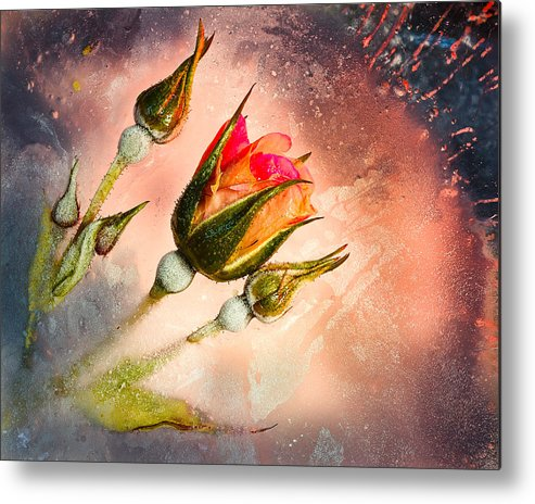 Rose Metal Print featuring the photograph Rose Creation by James Rowland