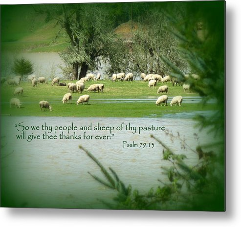 Cindy Metal Print featuring the photograph Sheep Grazing Scripture by Cindy Wright