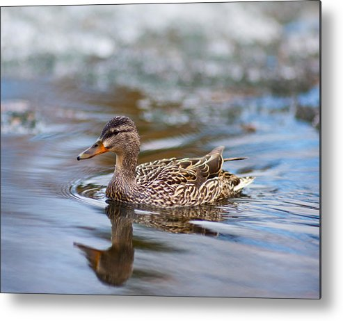 Bird Metal Print featuring the photograph Song To The Siren by Jesse Pickett