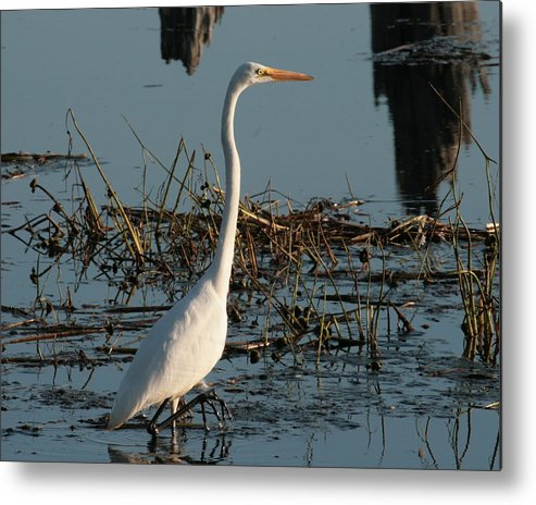 Great Egret Metal Print featuring the photograph The Great Egret Stalk by Teresa McGill