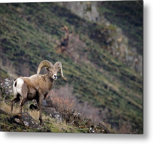 Bighorn Sheep Metal Print featuring the photograph The Overlook by Steve McKinzie