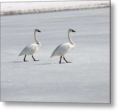 Lower Klamath Metal Print featuring the photograph Tundra Swan - 0058 by S and S Photo