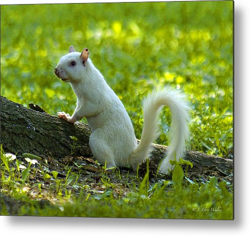 J Larry Walker Metal Print featuring the photograph White Squirrel by J Larry Walker