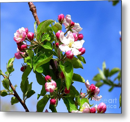 Apple Blossoms Metal Print featuring the photograph Apple Blossoms by Malcolm Howard