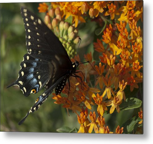 Butterflys Metal Print featuring the photograph Awesome Black by Michael Bandeko