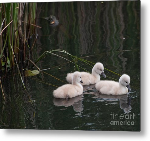 Wild Birds Metal Print featuring the photograph Baby Swans by Henry Russell
