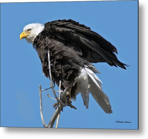 Bald Eagle Metal Print featuring the photograph Bald Eagle On Cottonwood Tree Branches by Stephen Johnson
