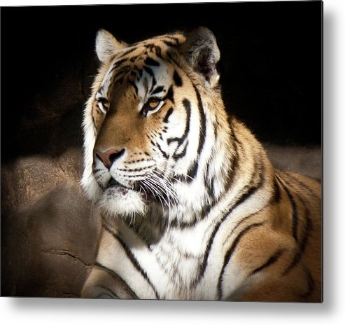 Tiger Metal Print featuring the photograph Bengal Tiger Sitting In Silent Shadows by Robin Frazier