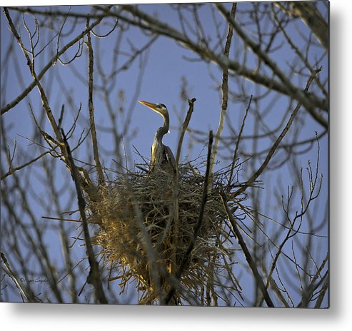 Beautiful Photos Metal Print featuring the photograph Blue Heron 30 by Roger Snyder