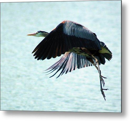 Blue Heron Metal Print featuring the photograph Blue Heron by Bob Guthridge