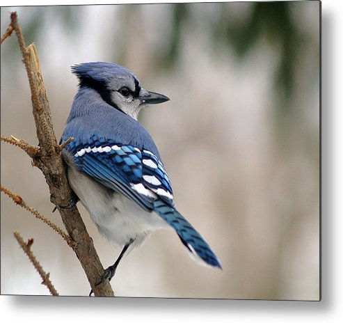Blue Jay Metal Print featuring the photograph Blue Jay by Gaby Swanson