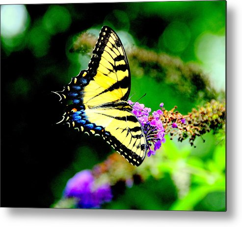 Akeview Metal Print featuring the photograph Butterflie by Aron Chervin