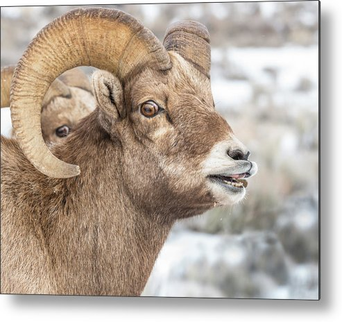 Sheep Metal Print featuring the photograph Calling All Ewes by Yeates Photography