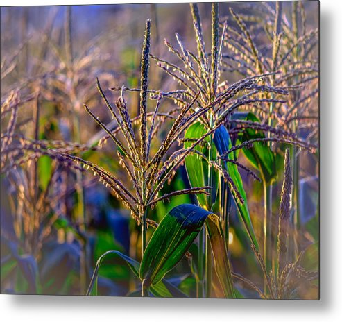 Black Brook Metal Print featuring the photograph Corn Tassels by Black Brook Photography