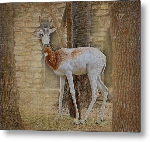 Animal Metal Print featuring the photograph Critically Endangered Dama Gazelle by TN Fairey