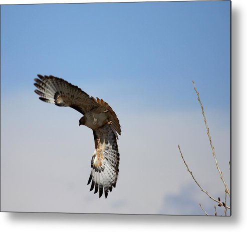 Raptor Metal Print featuring the photograph Dinner Time by Ray K