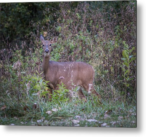 Bordeleau Metal Print featuring the photograph Doe In The Weeds by Chris Bordeleau