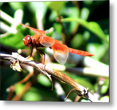 Dragonfly Metal Print featuring the photograph Dragonfly by Ellen Lerner ODonnell