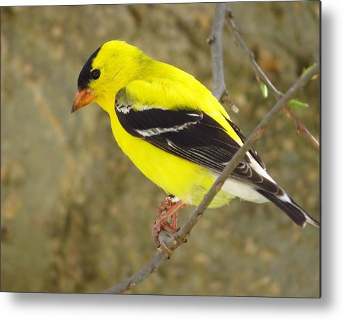 Goldfinch Metal Print featuring the photograph Eastern Goldfinch by Lori Frisch