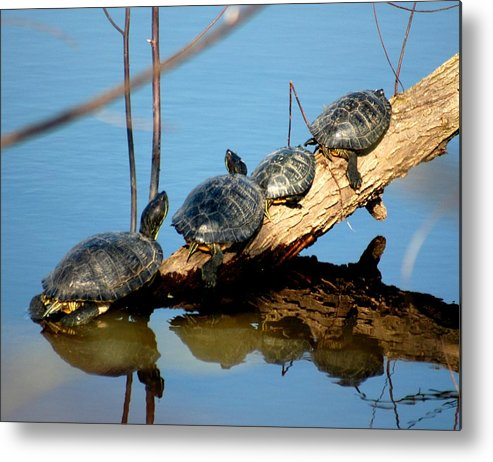 Turtles Metal Print featuring the photograph Family Of Turtles by Bob Guthridge