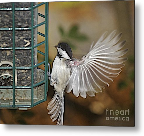 Chickadee In Flight Metal Print featuring the photograph Fan Dance by Faith Harron Boudreau