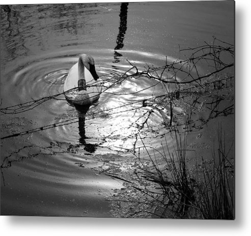 Trumpeter Swan Metal Print featuring the photograph Feeding Trumpeter Swan In Black And White by Michael Dougherty