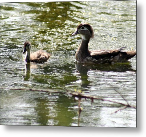 Animals Metal Print featuring the photograph Female Wood Duck With Chick by B Rossitto