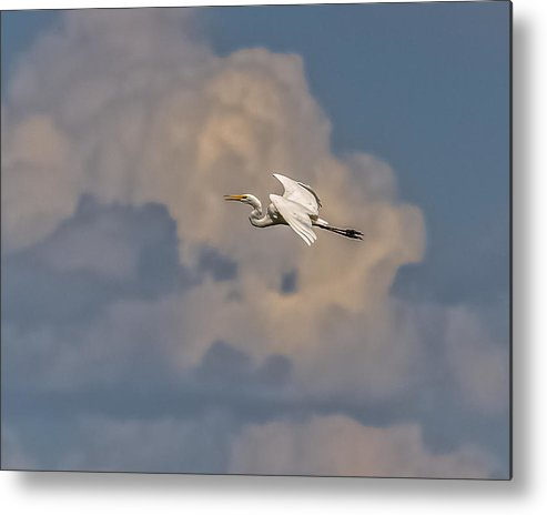 Great Egret Metal Print featuring the photograph Flight To Heaven by Yeates Photography
