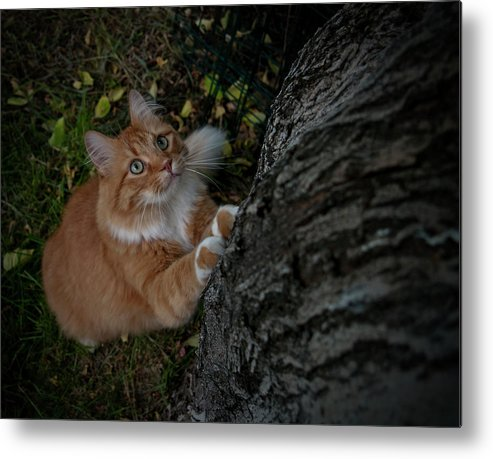 Orange Tabby Cat Metal Print featuring the photograph Focused by ShaddowCat Arts - Sherry
