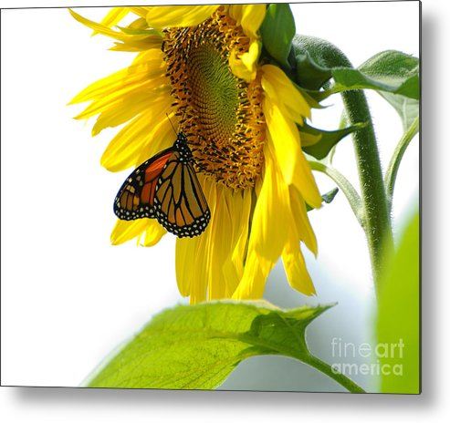 Butterfly Metal Print featuring the photograph Glowing Monarch On Sunflower by Edward Sobuta