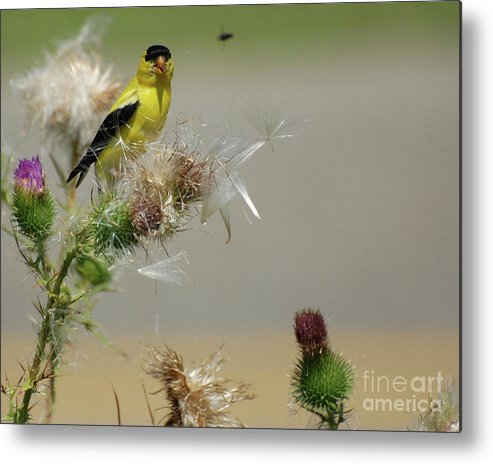 Wild Birds Metal Print featuring the photograph Goldfinch by Henry Russell