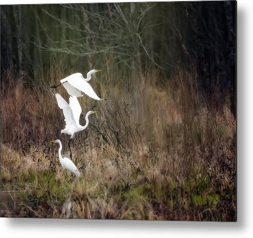 Bird Metal Print featuring the photograph Great Egrets by Al Mueller