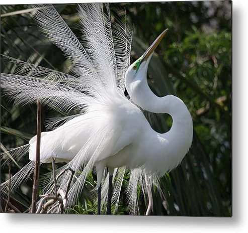 Egret Metal Print featuring the photograph Great White Egret 2 by Steve Leach