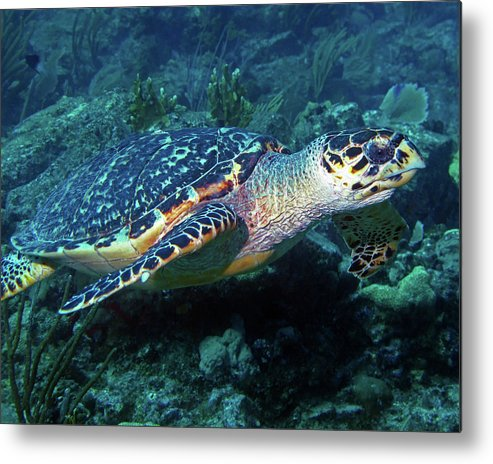 Hawksbill Sea Turtle Metal Print featuring the photograph Hawksbill Sea Turtle 3 by Pauline Walsh Jacobson