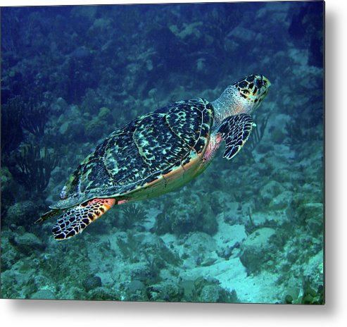 Hawksbill Sea Turtle Metal Print featuring the photograph Hawksbill Sea Turtle 5 by Pauline Walsh Jacobson