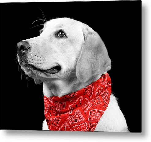 Dog Metal Print featuring the photograph Labrador In Black And White by Leonardo Vega